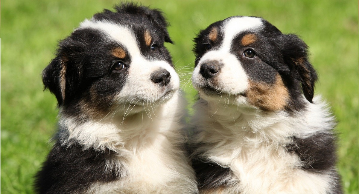 Two Cute Australian Shepherd puppies sat in the grass