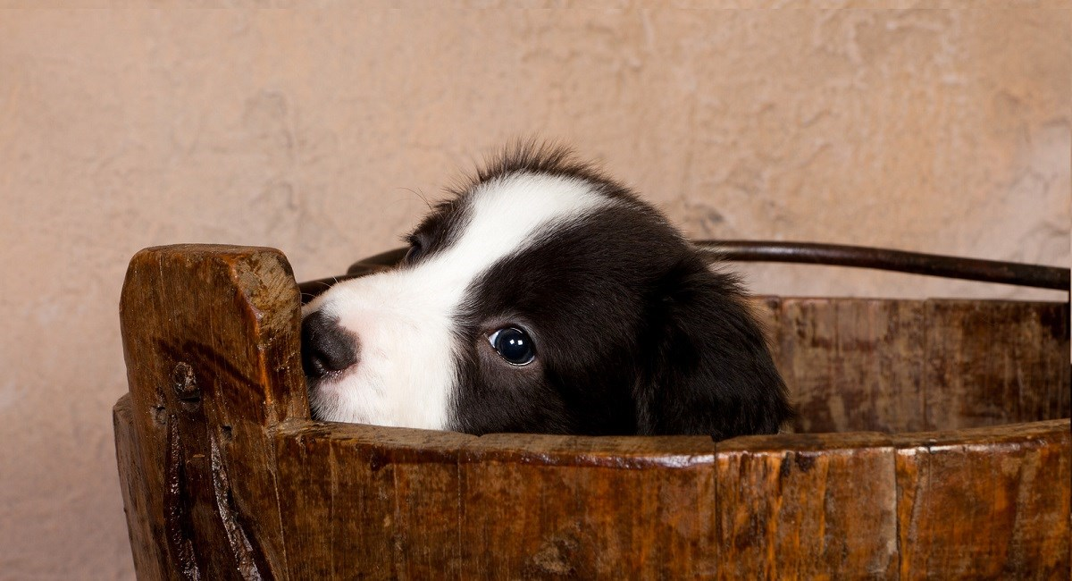 Border Collie puppy stuck in wooden bucket