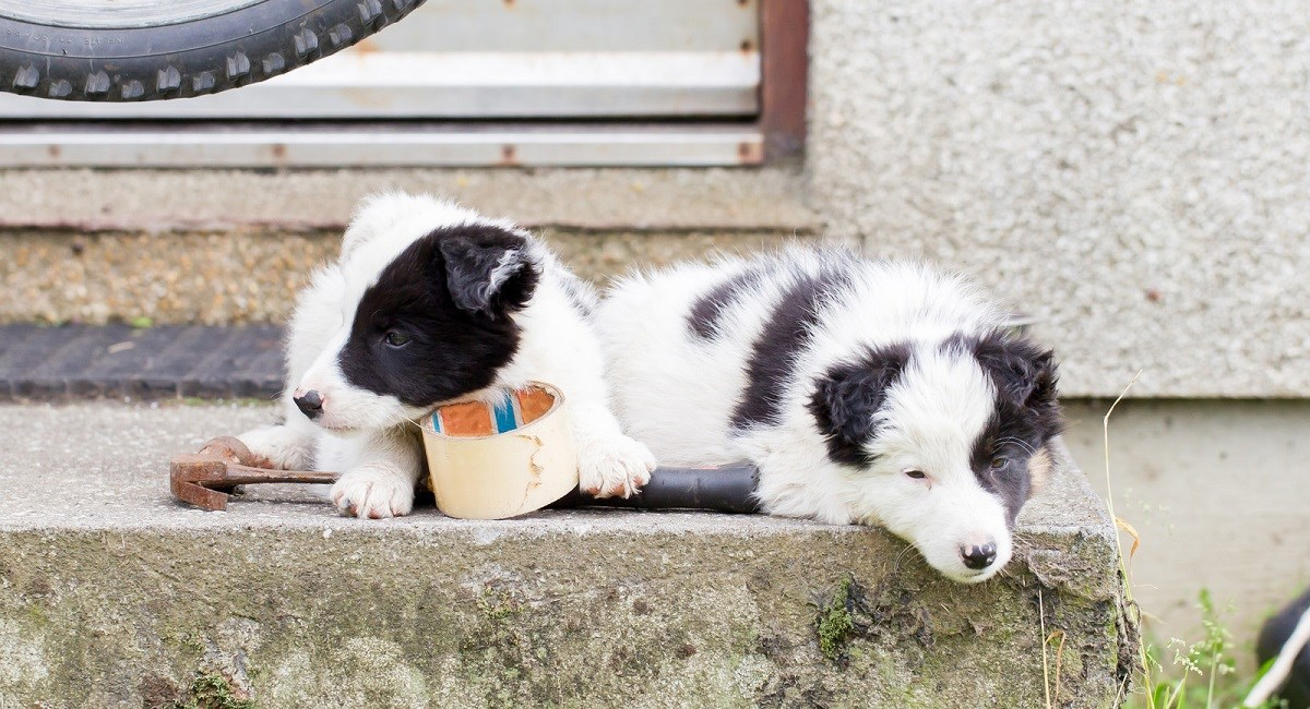 Two Border Collie puppies with roll of masking tape