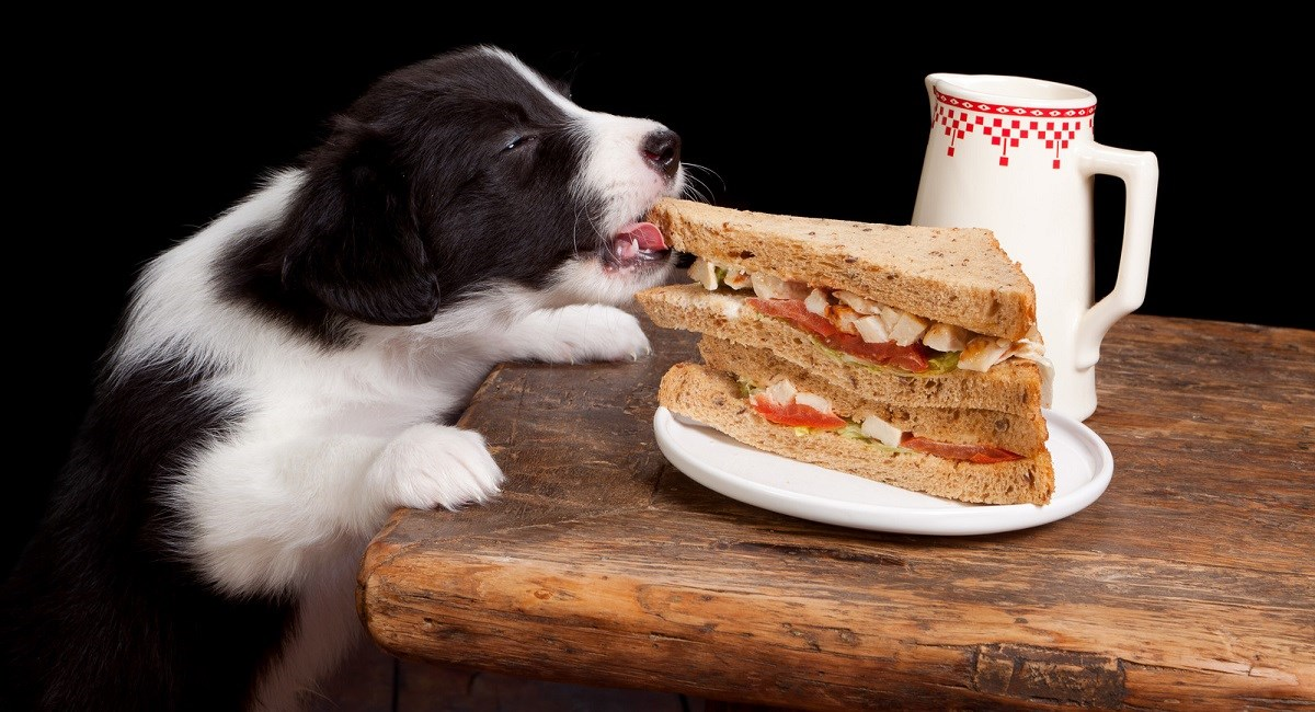 Border Collie puppy stealing sandwich from table