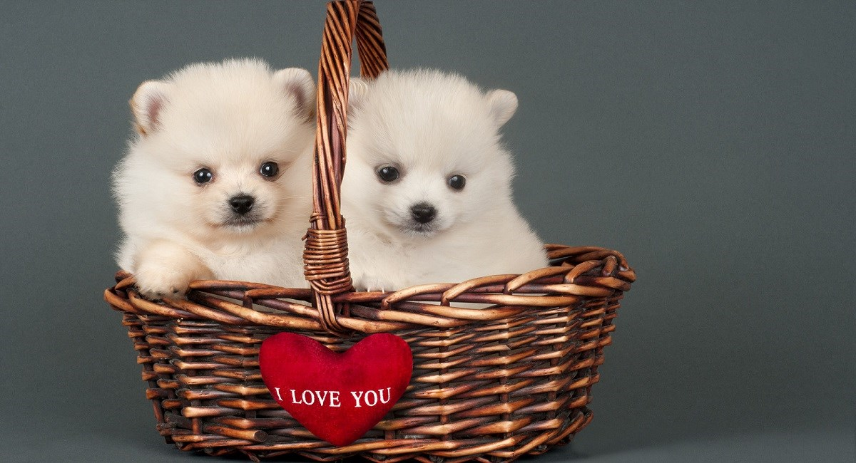 White pomeranian puppies in a basket