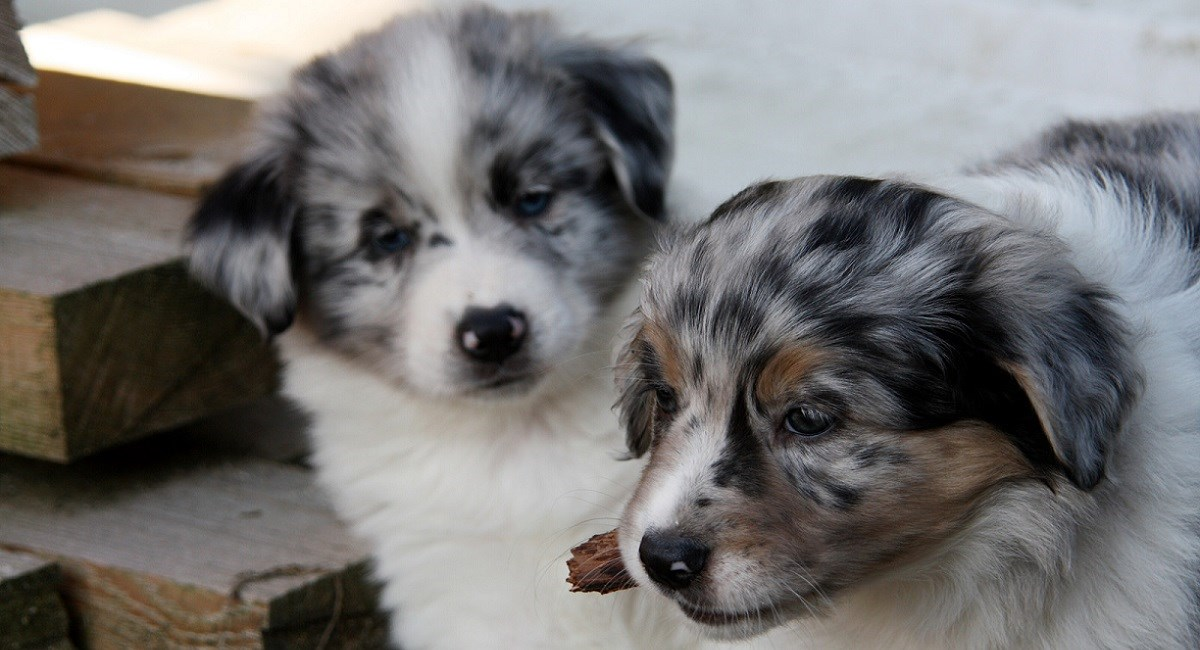 Australian Shepherd Dog Puppies For Sale Near You