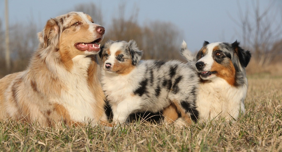 Merle Australian Shepherd puppy with parents