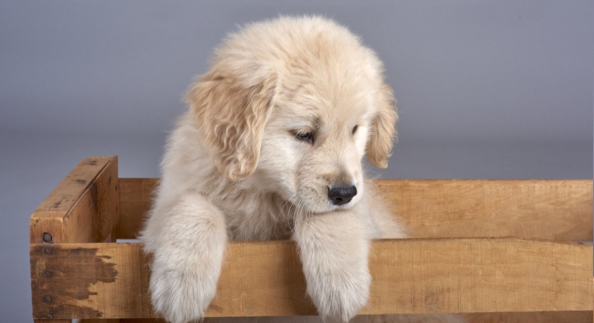 Golden Retriever puppy trying to get out of a wooden crate