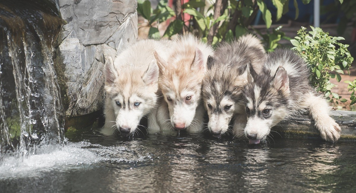 Siberian Husky puppies drinking from a well