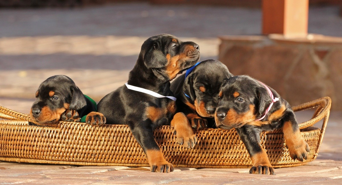 Doberman Puppies getting out of basket