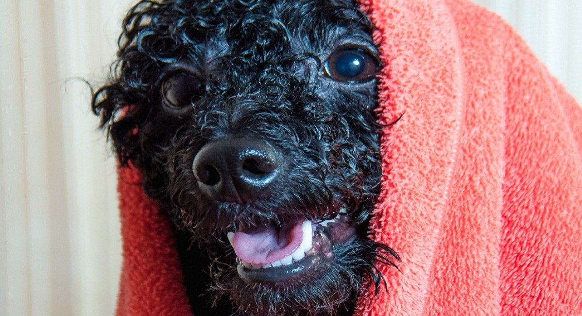 Black Poodle puppy with towel over its head