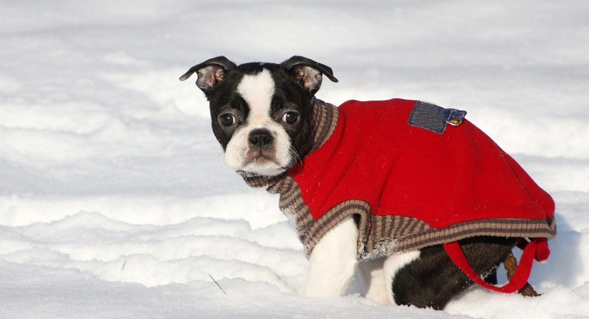 Boston Terrier puppy first time in the snow
