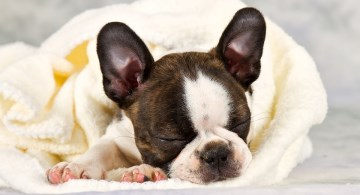 Boston Terrier puppy snuggled in blacnket