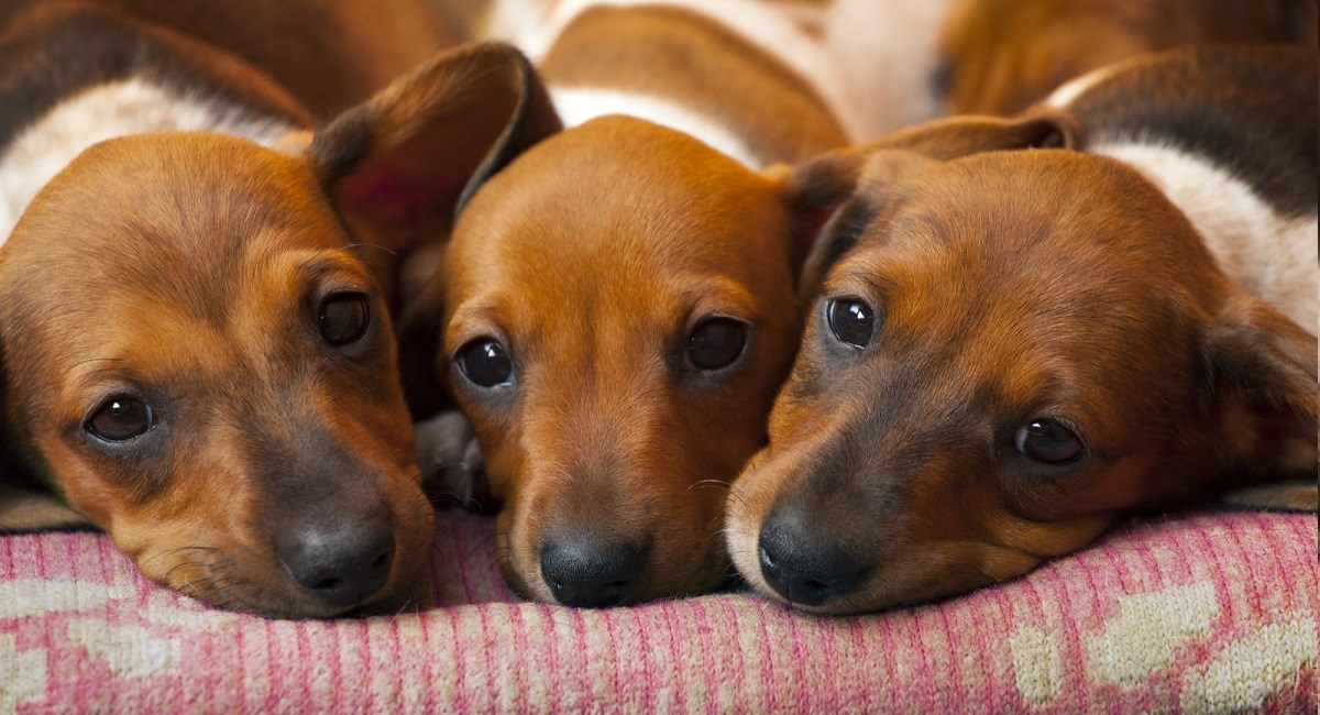 Three bored Dachshund puppies