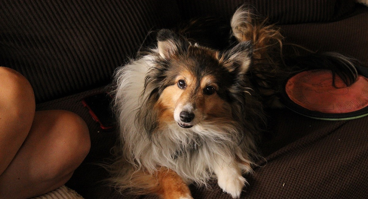 Sable Sheltie waiting a groomin session