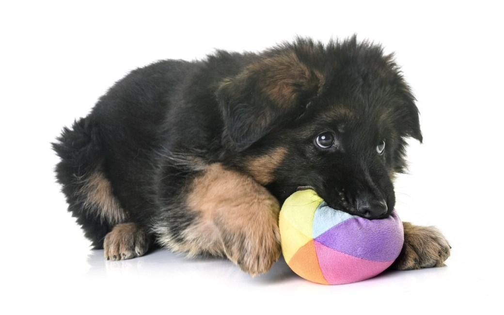 GSD puppy chewing a ball