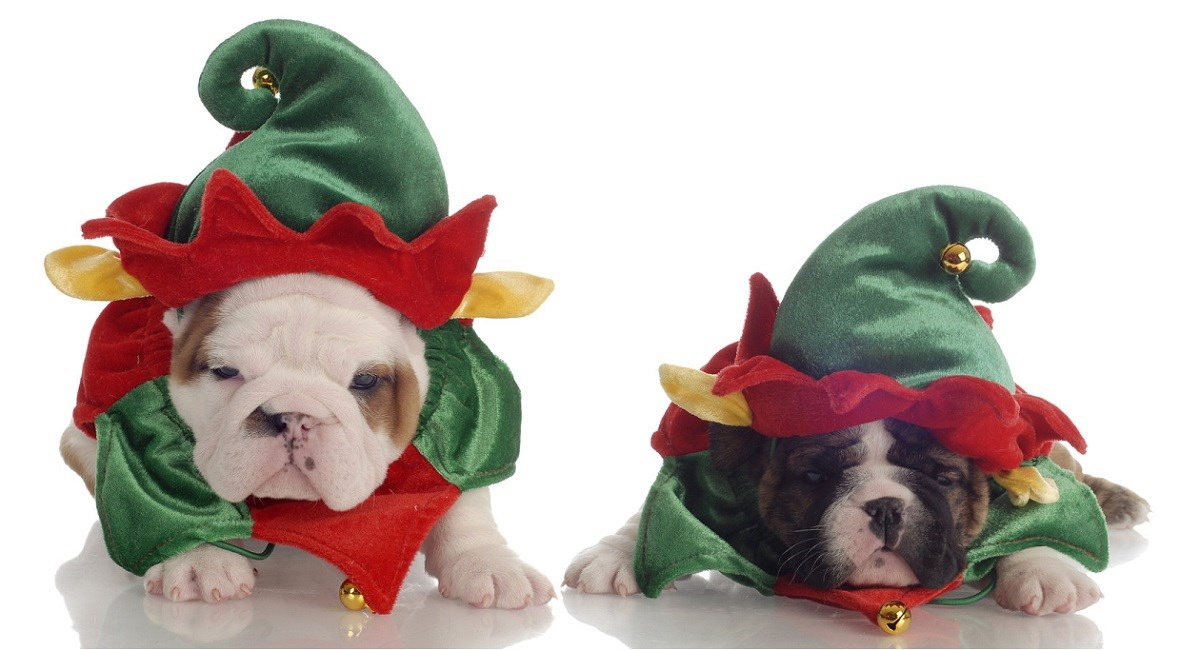 English Bulldog puppies dressed as christmas elves