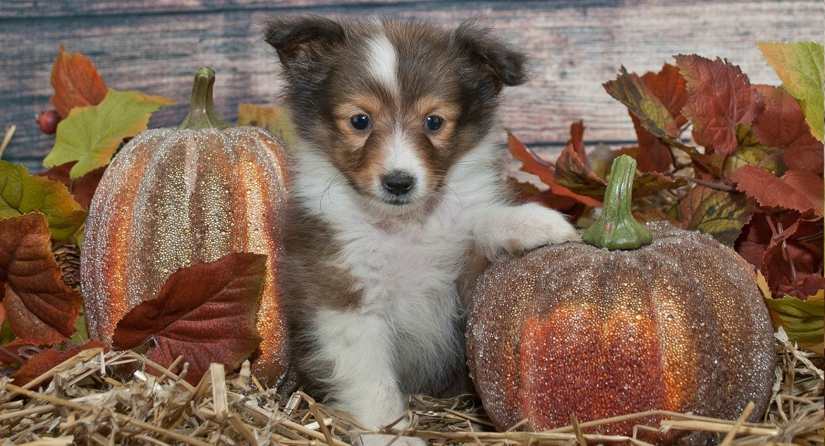 Sable Shettie puppy with pumpkins