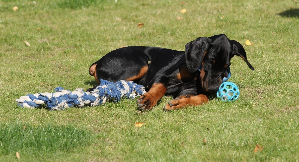 Doberman Puppy taking rest with ball and toy rope.