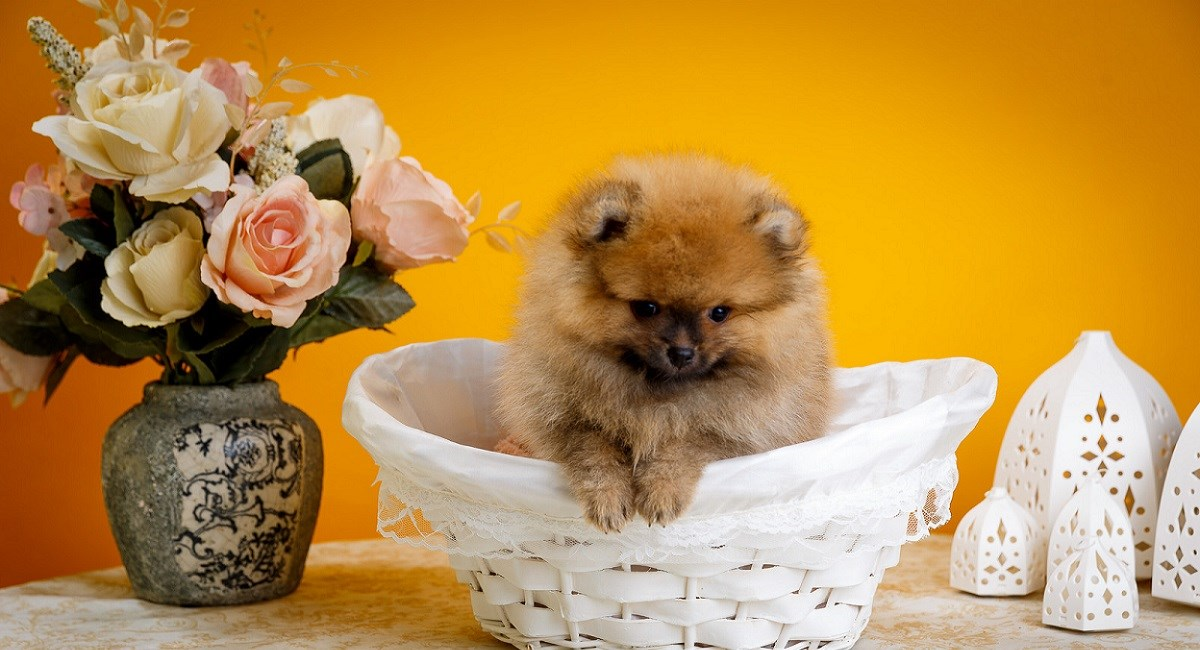 Pomeranian puppy in basket with flowers