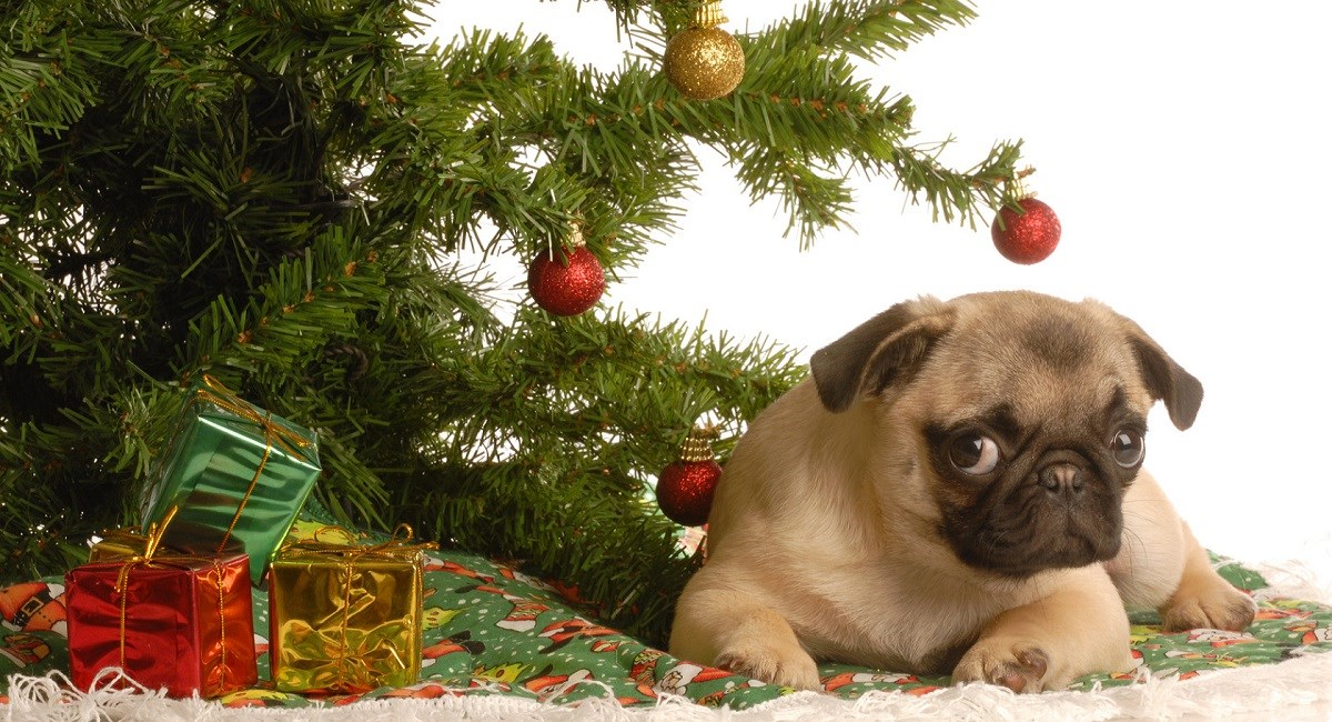 Pug puppy under Xmas tree with gifts