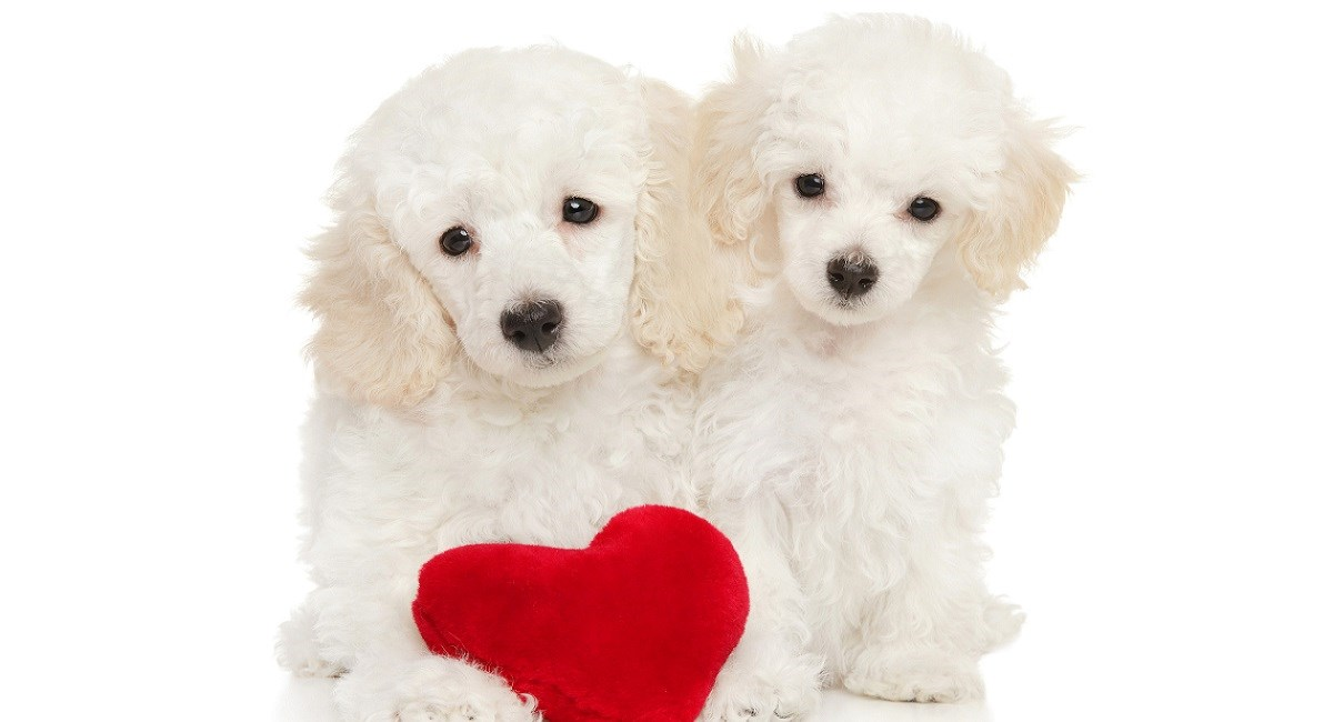 Two white poodles with velvet heart.