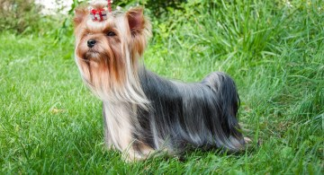 Yorkie Puppy with bow in hair