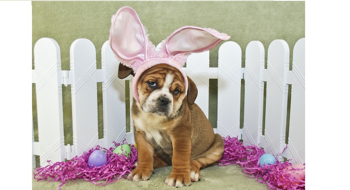 Engish Bulldog celebrating Easter