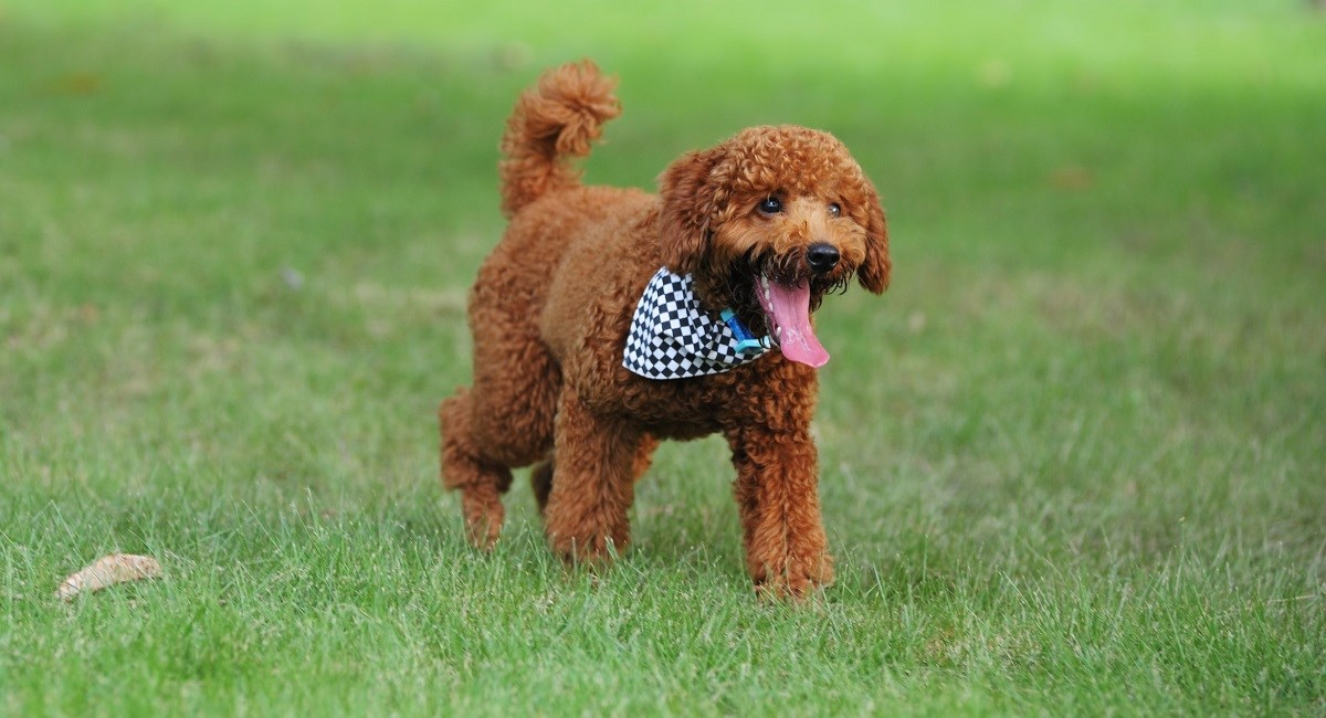 Red poodle puppy showning long tongue
