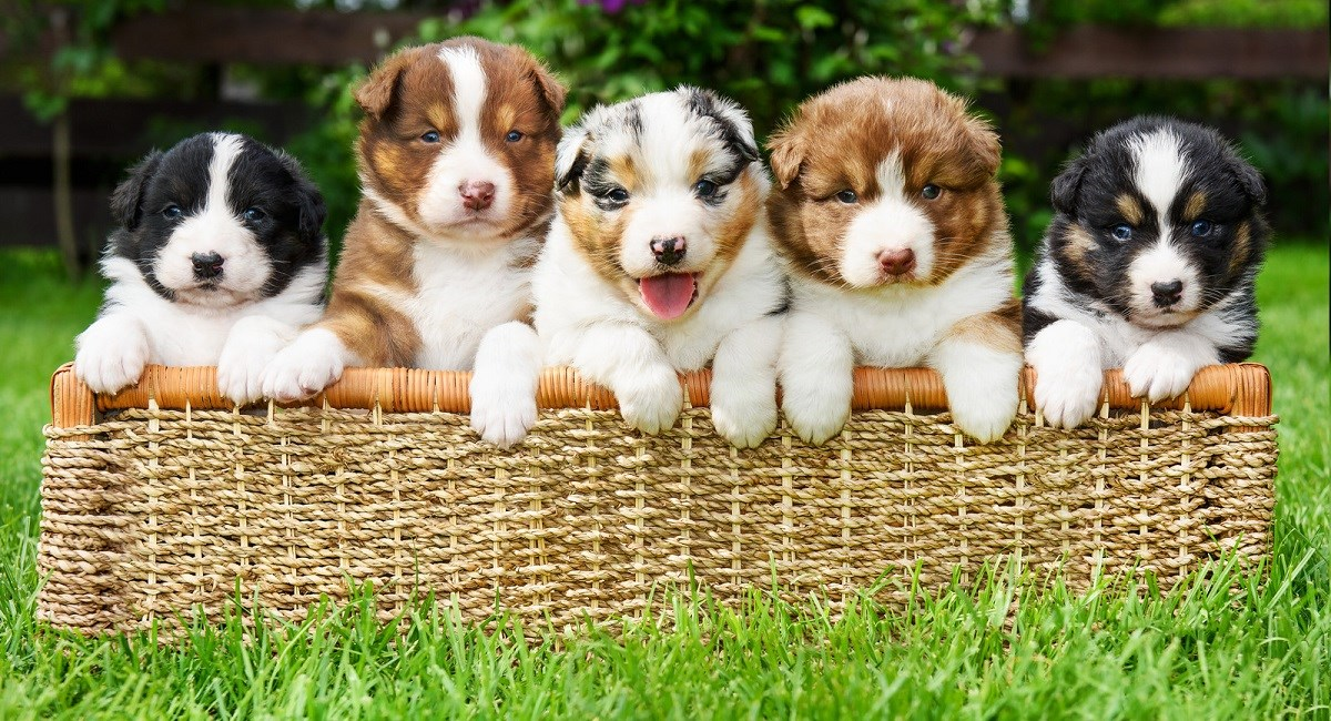 Five Australian Shepherd puppies in a basket.