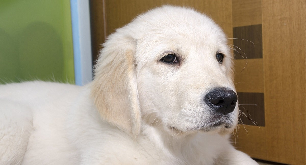 Golden Retriever puppy with smart looking face